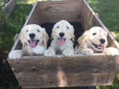 Goldendoodle PUPPY FOR SALE ADN-79428 - Goldendoodle Puppies