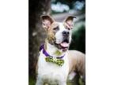 Adopt Woodrow a Brindle - with White American Staffordshire Terrier / Mixed dog