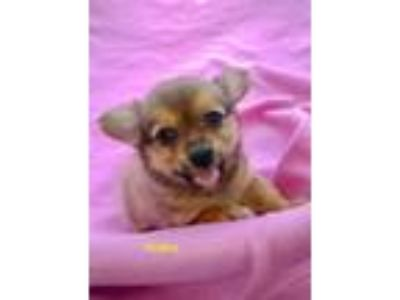 Adopt Yasha a Yorkshire Terrier, Poodle