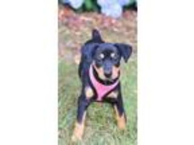 Adopt Greta a Black Dachshund / Terrier (Unknown Type, Small) / Mixed dog in