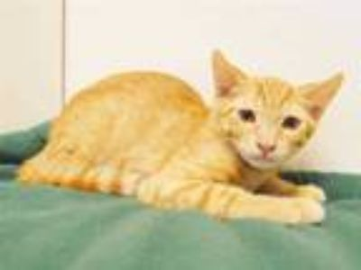 Adopt *IVAN a Orange or Red Tabby Domestic Shorthair / Mixed (short coat) cat in