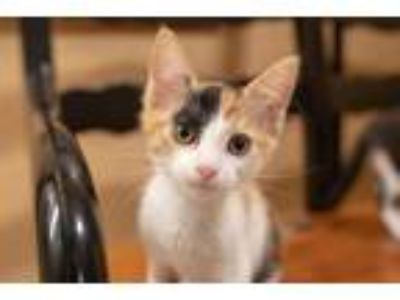 Adopt Anderson (BONDED WITH REYNOLDS) a Calico, Domestic Short Hair