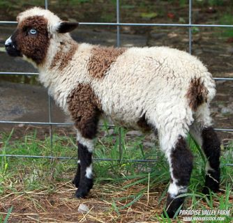 Mini Sheep-Summer Sale up to $200 off!