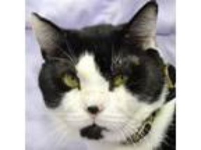 Adopt Yodel a Domestic Short Hair