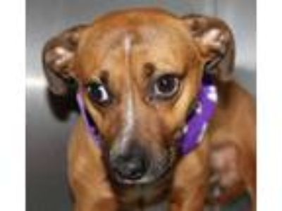 Adopt Boyd a Red/Golden/Orange/Chestnut Dachshund / Mixed dog in Spartanburg