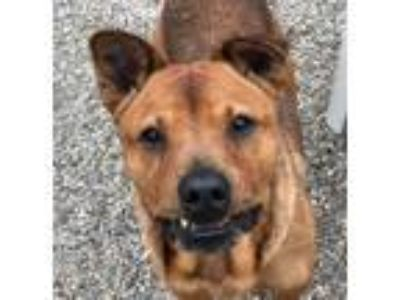 Adopt REGGIE a Chow Chow, Mixed Breed