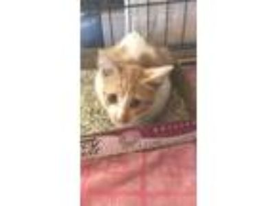 Adopt ISAAC a Orange or Red Domestic Shorthair / Domestic Shorthair / Mixed cat