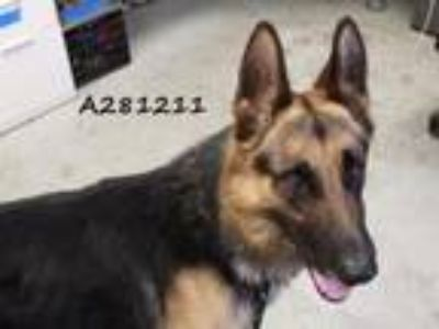 Adopt JACE a German Shepherd Dog, Mixed Breed