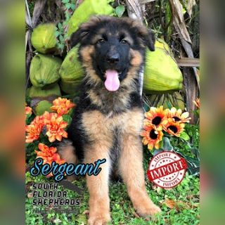 German Shepherd Dog PUPPY FOR SALE ADN-102256 - Imported Long Coat German Shepherd puppy