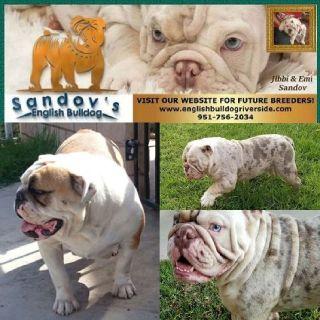 AKC English Bulldog puppies (Merles and colors)