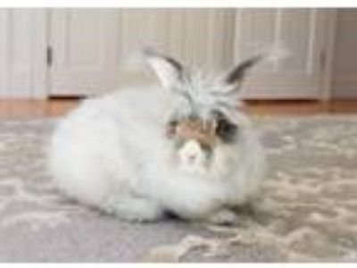 Adopt Violet a White Angora, English / Mixed (long coat) rabbit in Portland