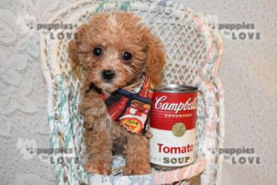Shih Tzu-Poodle (Toy) Mix PUPPY FOR SALE ADN-77348 - TCUP SHIHPOO