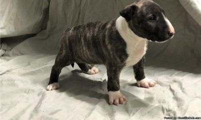 Beautiful Minature Bull Terrier Puppies