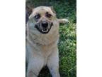Adopt Sidney Adult Great Companion a German Shepherd Dog / Mixed dog in