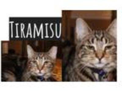 Adopt Tiramisu a Domestic Short Hair