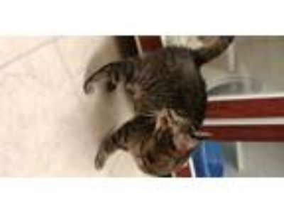 Adopt Marvel a Brown or Chocolate Domestic Shorthair / Domestic Shorthair /