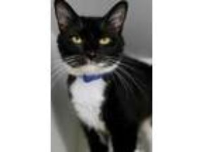 Adopt June a All Black Domestic Shorthair / Domestic Shorthair / Mixed cat in