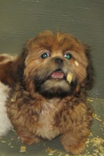 Shih Tzu PUPPY FOR SALE ADN-108302 - Female Shih Tzu Puppy