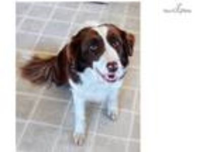 Beautiful AKC red and white Border Collie female!