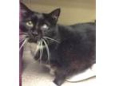Adopt Fatty a Domestic Medium Hair