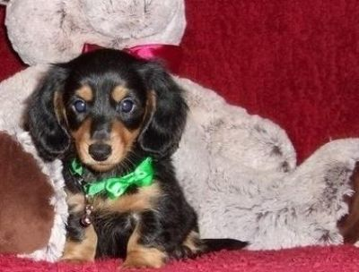 Fantastic Miniature Dachshund puppies available