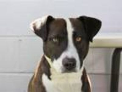 Adopt A280549 a Pit Bull Terrier, Mixed Breed