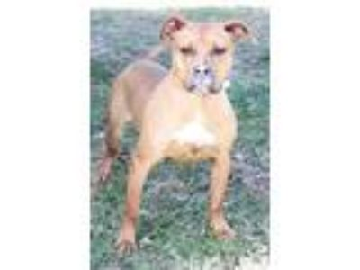 Adopt Jynx a Tan/Yellow/Fawn - with White Pit Bull Terrier / Boxer / Mixed dog