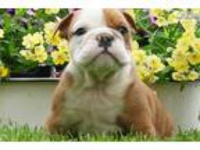 Akc Chunky Adorable English Bulldog Puppy Ready to