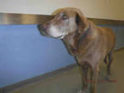 Adopt GORDON a Tan/Yellow/Fawn - with White Labrador Retriever / Mixed dog in