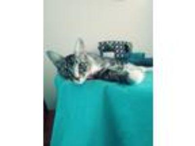 Adopt Chrissy a Tiger Striped Domestic Mediumhair cat in Glen Burnie