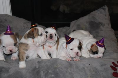 Bulldog PUPPY FOR SALE ADN-105965 - AKC Registered EB Puppies