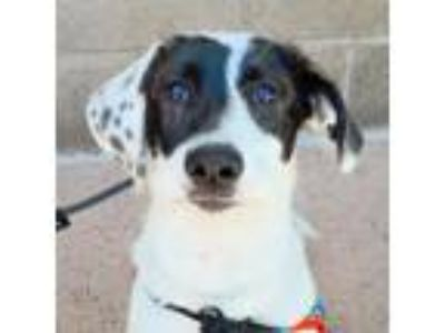Adopt Baby Bel a Black - with White Anatolian Shepherd / Mixed dog in Sunnyvale