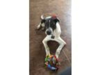 Adopt Otis a White - with Black American Pit Bull Terrier / Pointer / Mixed dog