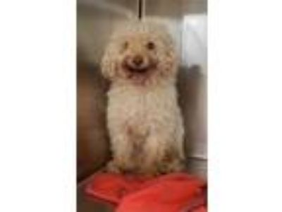 Adopt Tigger a Poodle (Miniature) / Mixed dog in Birmingham, AL (25335398)
