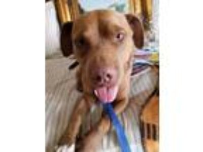 Adopt Prince a American Staffordshire Terrier