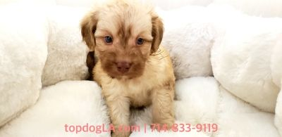 Cock-A-Poo PUPPY FOR SALE ADN-80383 - Cockapoo Male JoJo
