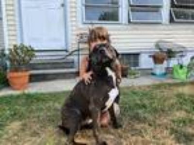 Adopt Steve Rogers (Roger) a Brindle - with White Pit Bull Terrier / Mixed Breed