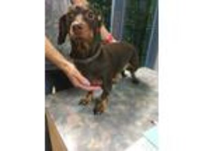 Adopt Layla a Brown/Chocolate Dachshund / Mixed dog in The Colony, TX (25308074)