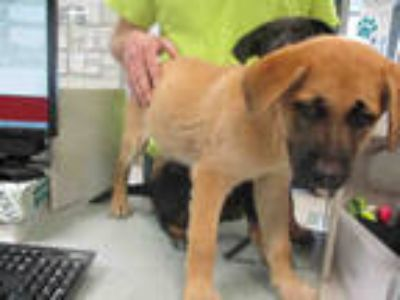 Adopt a Brown/Chocolate - with Black German Shepherd Dog / Mixed dog in Oklahoma