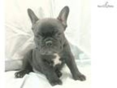 AKC Bumper Mini Male French Bulldog Companion Pup