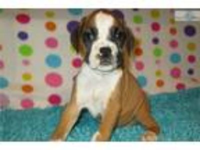 AKC registered male Boxer puppy (Dusty)