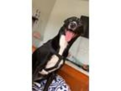 Adopt Bella a Black - with White Terrier (Unknown Type, Medium) dog in Forney