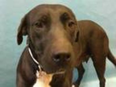 Adopt Dixie a Black Labrador Retriever / Mixed dog in Coon Rapids, MN (25349432)