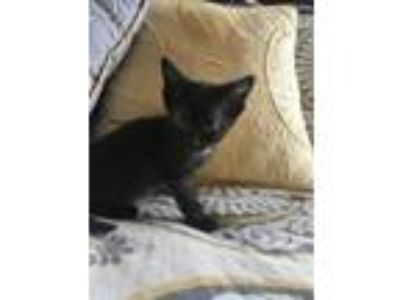 Adopt Praline a Domestic Short Hair