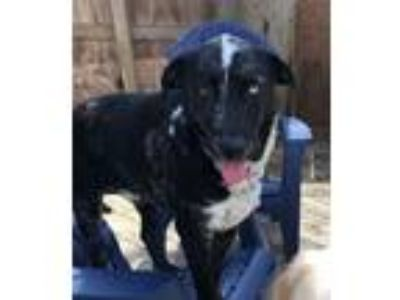 Adopt Eddie a Black - with White German Shepherd Dog / American Pit Bull Terrier
