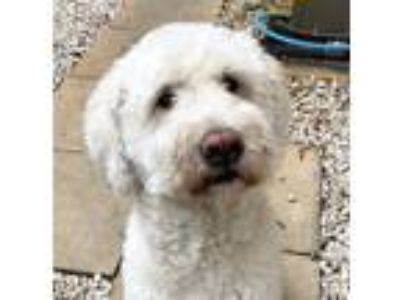 Adopt Yogi a White Poodle (Standard) / Wheaten Terrier dog in Palm Beach