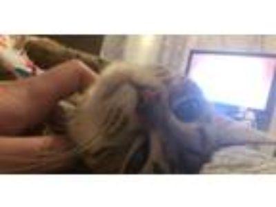Adopt Nova a Brown Tabby Domestic Shorthair cat in Hartford, WI (25586541)