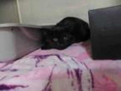 Adopt Goofy a All Black Domestic Shorthair / Domestic Shorthair / Mixed cat in
