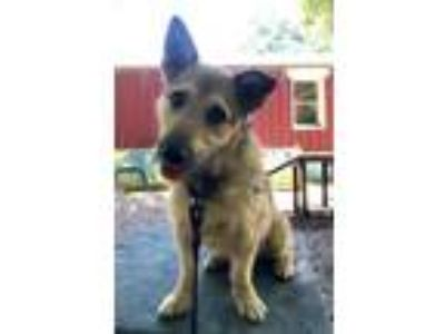 Adopt Teddy a Wirehaired Terrier, Terrier