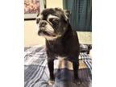 Adopt Pepper a Black - with Gray or Silver Pug / Mixed dog in Grapevine